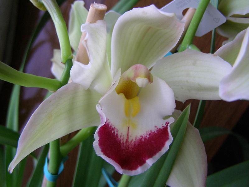 Cymbidiums Orchids