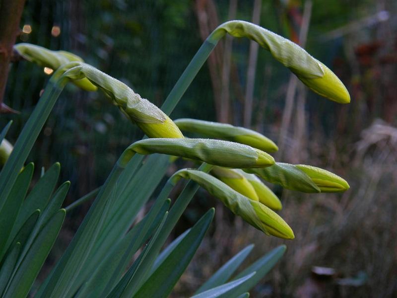 Daffodil Foliage plants