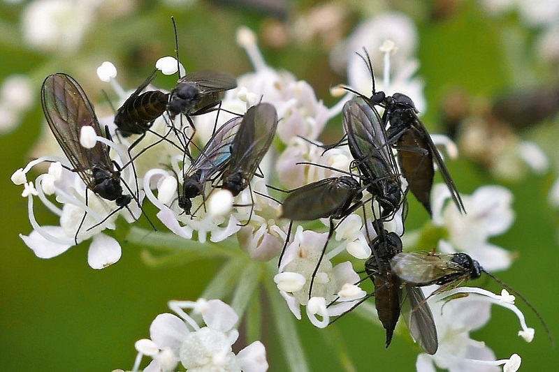 Dark winged fungus gnats
