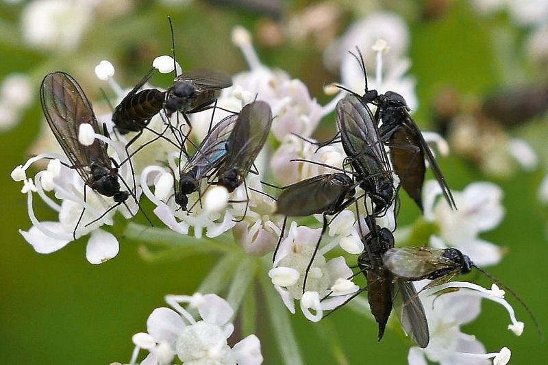Dark winged fungus gnats
