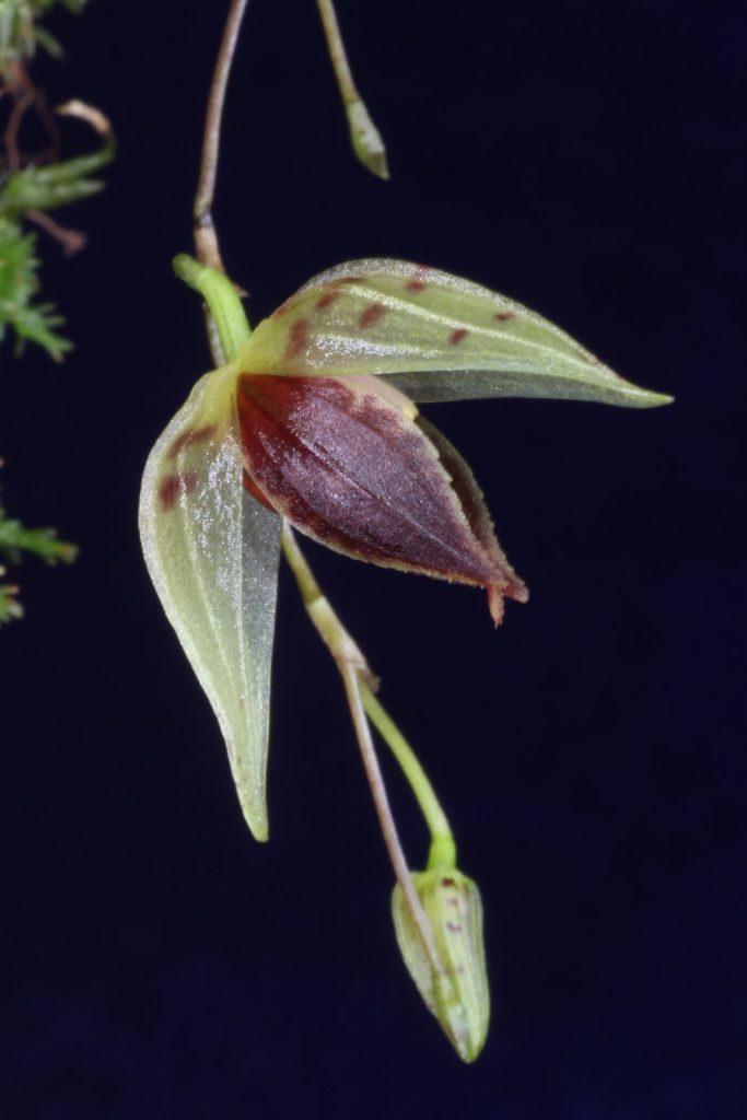 Elongatia guttata orchid
