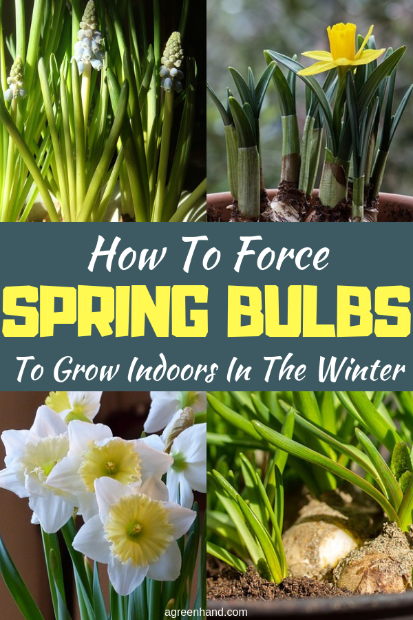 Blooming flowers in the house in the cold of winter is a great tonic, with bursts of color and scent to warm up a cold day! Grow bulbs for winter enjoyment. #ForceSpringBulbs #ForceSpringBulbsinwinter #springbulbs #agreenhand