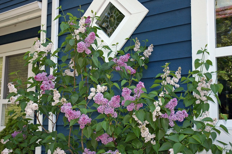 Fragrant Lilac trees