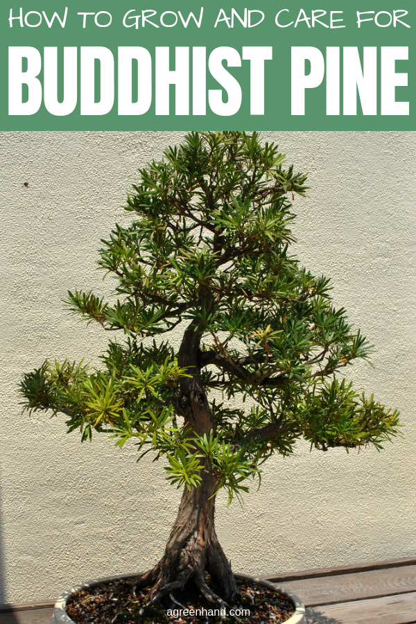 Inside as a houseplant, the Buddhist pine is a sedate grower that likes filtered sunlight. In strong, direct sun the tips of the long and slender dark-green leaves will turn brown. #buddhistpine #buddhistpinecare #buddhistpinegrow #agreenhand