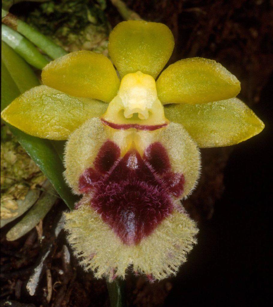 Taiwan fragrant orchid - Haraella retrocalla (Haraella odorata) orchid