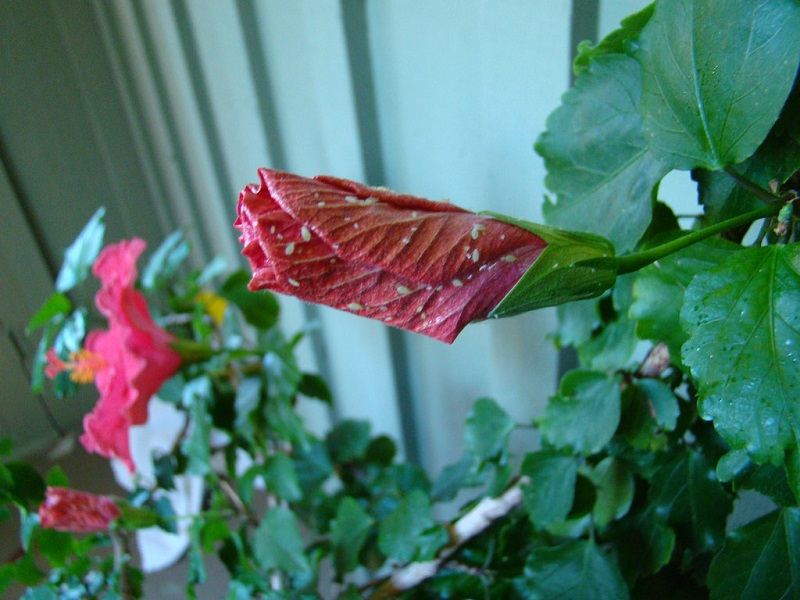 Hibiscus with white fly infestation