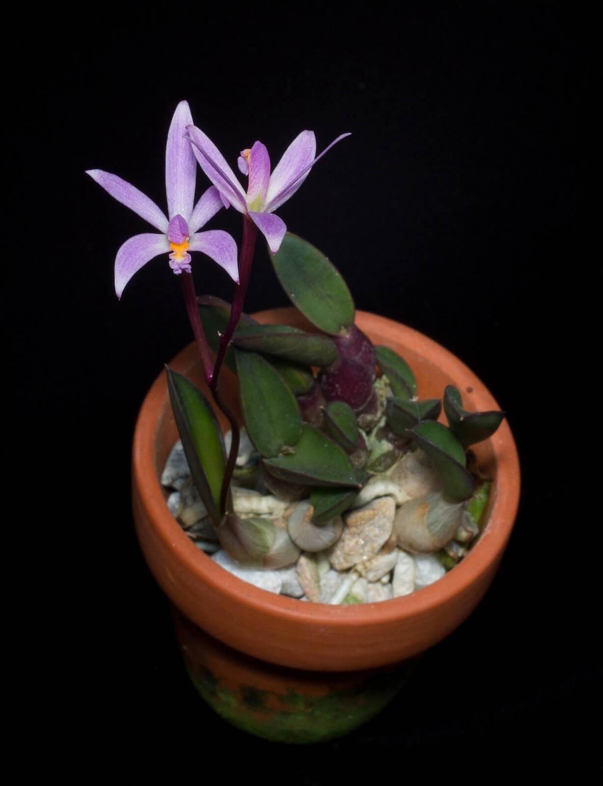 Laelia liliputana orchid