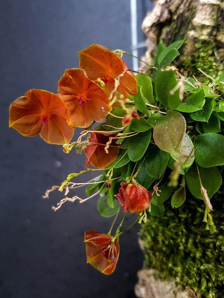 Lepanthes telipogoniflora orchid