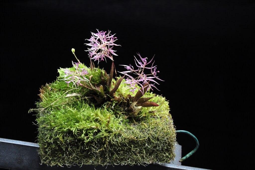 Macroclinium manabinum orchid