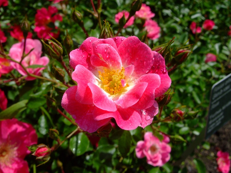 Meidiland Rose