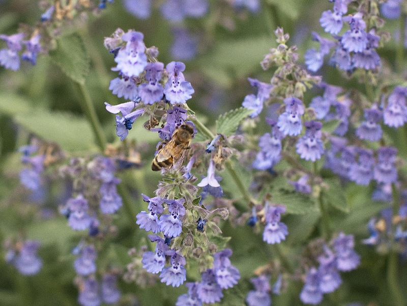 Nepeta Walker's Low Catmint