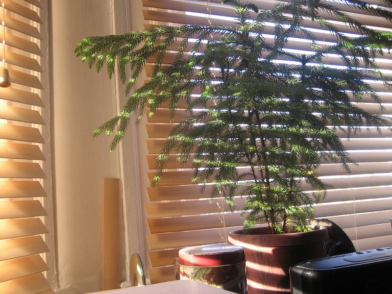 Norfolk Island Pine indoors