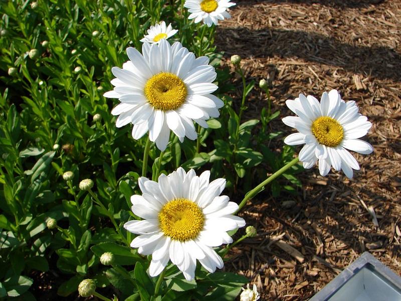 Ohio shasta daisies