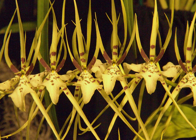 Oncidium Brassia Orchid Flowers