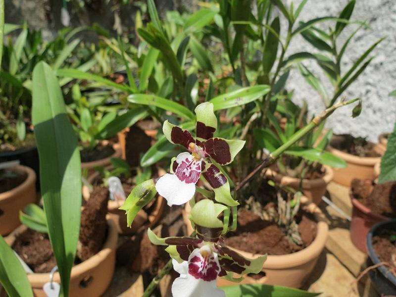 Oncidium Sharry Baby orchid