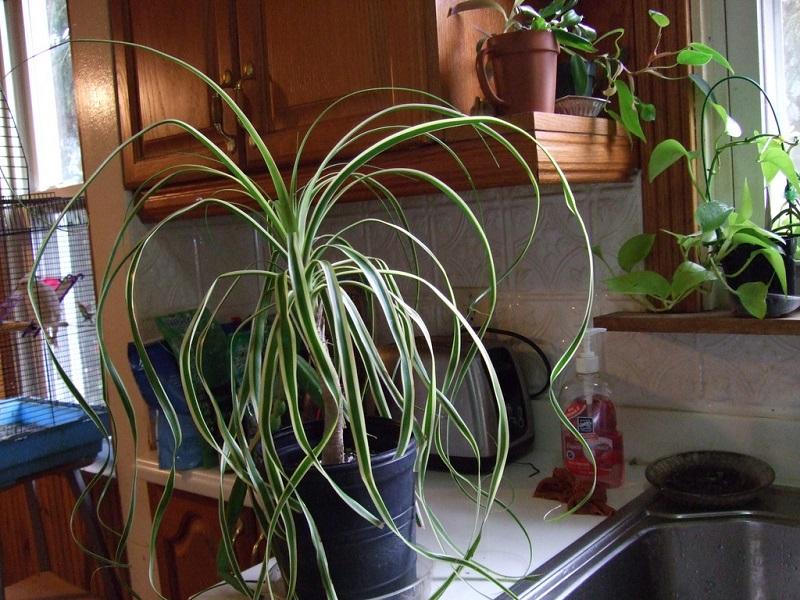 indoor PonyTail Palm