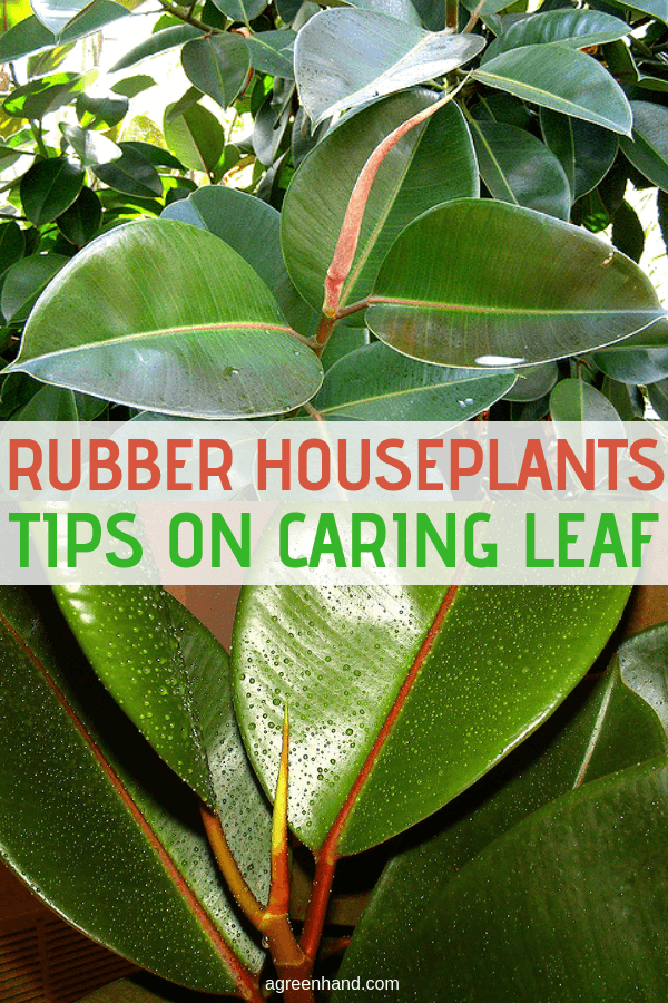 Properly caring for the leaves makes this houseplant a showcase item for home decorating. Taking care of rubber plants and their leaves is relatively simple and doesn't require much time. #rubberplantscare #rubberleafcare #rubberhouseplants #agreenhand