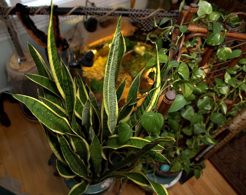 Sansevieria Trifasciata plant