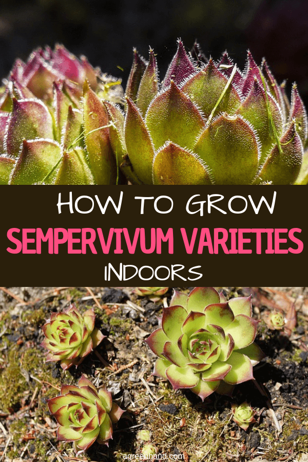 Sempervivums are well known as a garden plant but are also attractive, low-maintenance houseplants. They lend themselves to creative displays. Taking more care of sempervivums does produce better specimens, though they most definitely are a low- or easy-maintenance houseplant. #sempervivum #growsempervivumindoors #growsempervivum #agreenhand
