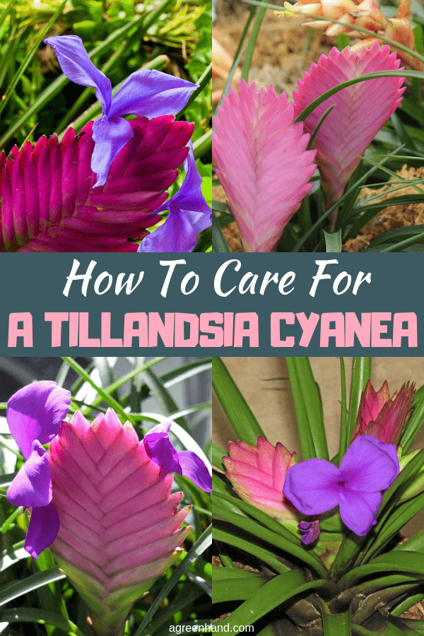 Tillandsia Cyanea, or pink quill, is a popular bromeliad houseplant that is quite attractive if it can be maintained properly. Maintaining the pink quill requires some care, but if suitable conditions are in place and propagation is successful, this tillandsia will last a few years. #Tillandsiacyanecare #TillandsiaCyanea #pinkquillcare #pinkquill