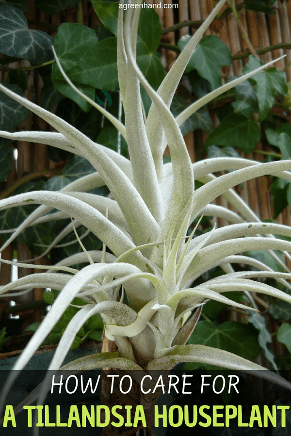 Tillandsia houseplants cover such a wide range, especially amongst the air plant types, that prospective keepers should research specific care requirements. By buying from reputable sources, information about the specific requirements should be available. #Tillandsiaplantcare #Tillandsiacare #Tillandsia #airplant #agreenhand
