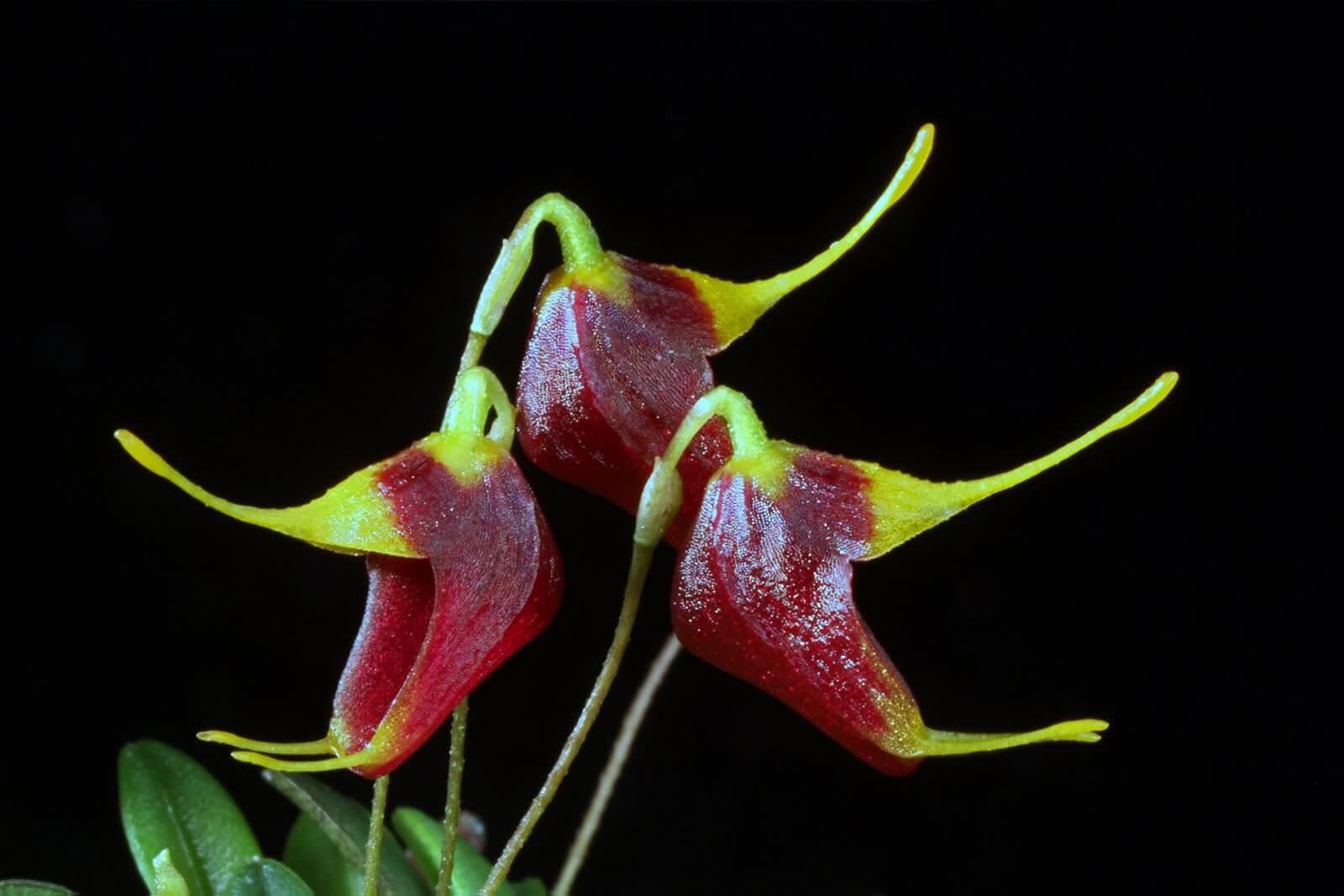 Trisetella dressleri orchid