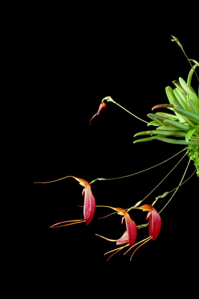 Trisetella gemmata (The Sparkling Trisetella) orchid
