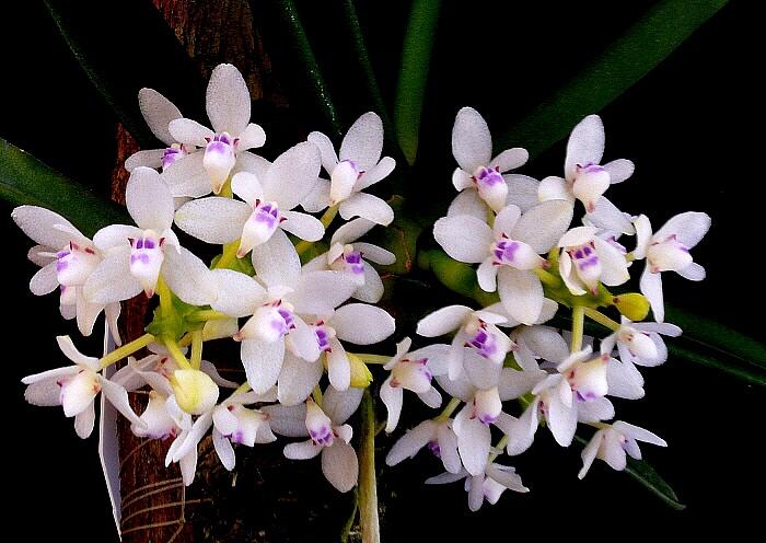 Tuberolabium woodii orchid
