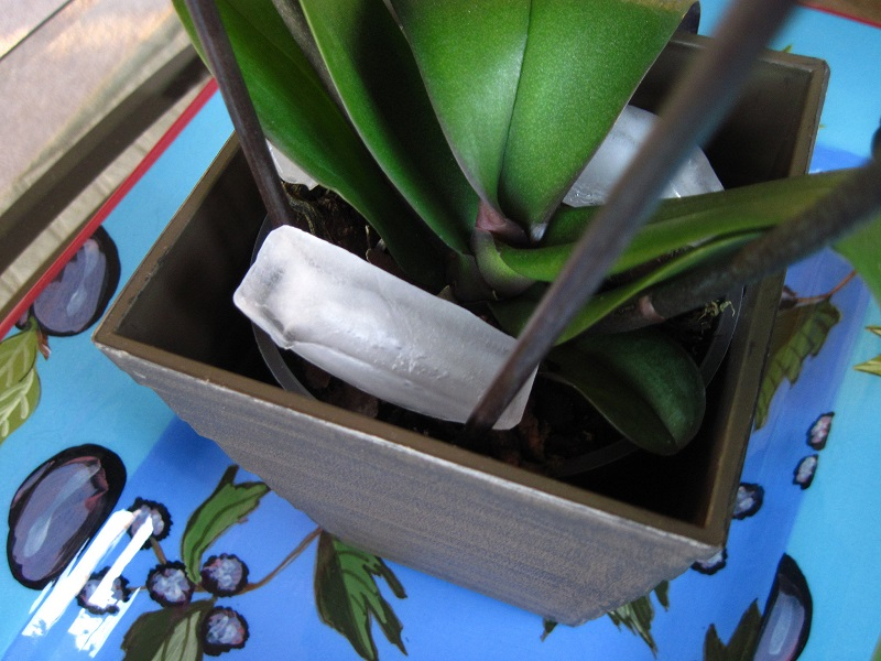Watering Orchids With Ice Cubes