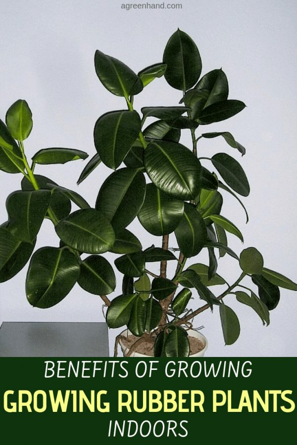 Rubber plants (Ficus elastica) offer many benefits for homes, greenhouses, and offices. It is not surprising that these easy-to-care-for live plants are so popular in homes and offices. You only have to look around you at local business offices, cubicles, and even shopping malls to see an array of these indoor plants displayed. #rubberplants #rubberplantindoors #benefitsofrubberplants #agreenhand
