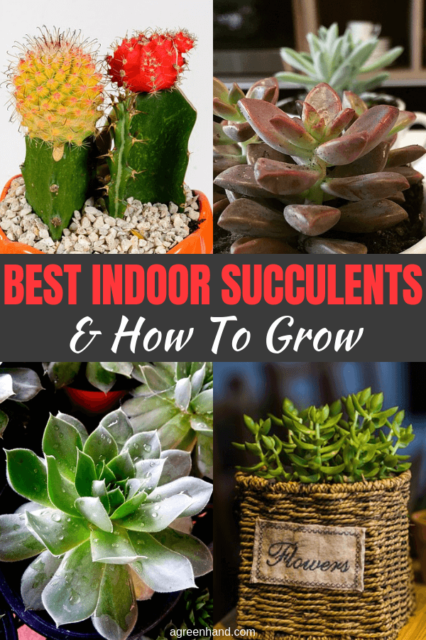 If you love succulents, but they can't survive in your cold climate, grow them as houseplants all year long or overwinter them as houseplants. . Success with growing succulents in the house depends on duplicating the native habitat as closely as possible. #indoorsucculents #succulents #agreenhand #growingsucculents