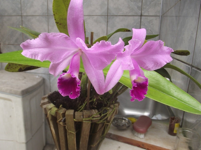 cattleya orchid plants