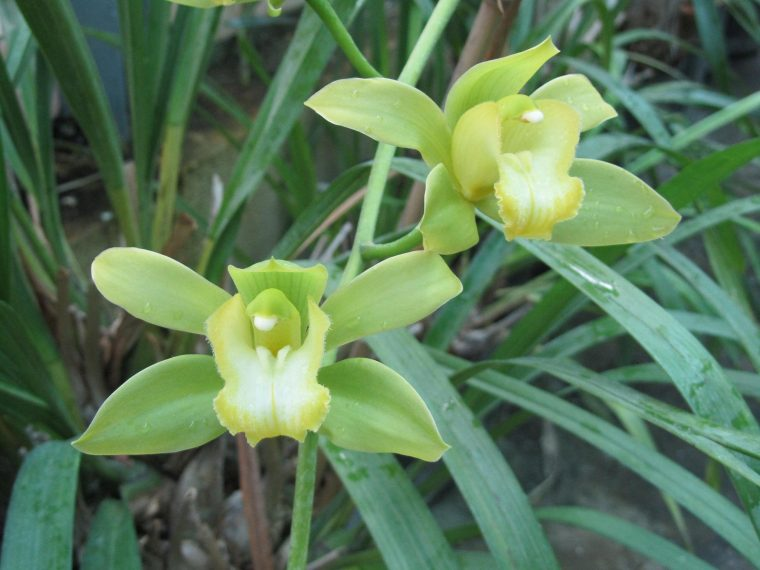 Orchid pests