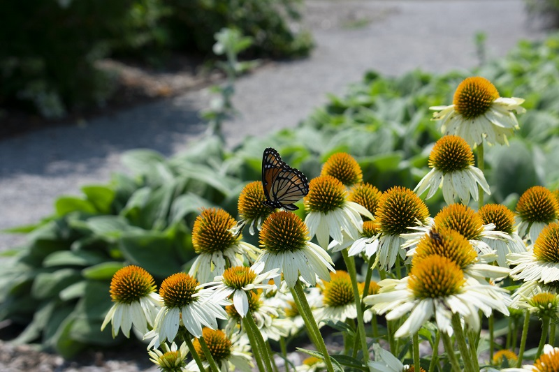 attract butterflies to garden