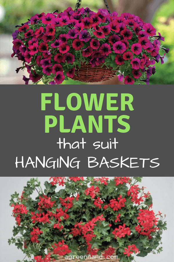 4 flowers that suit hanging baskets
