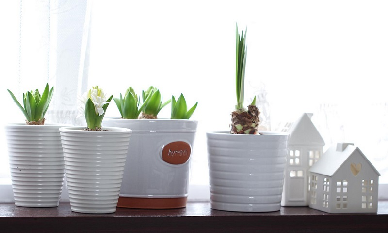 forcing spring bulbs indoors