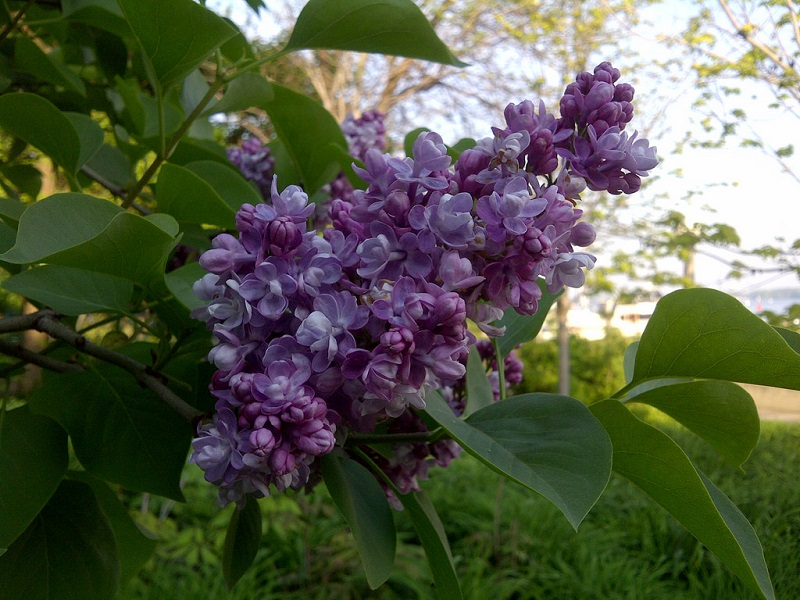 Fragrant Lilac tree