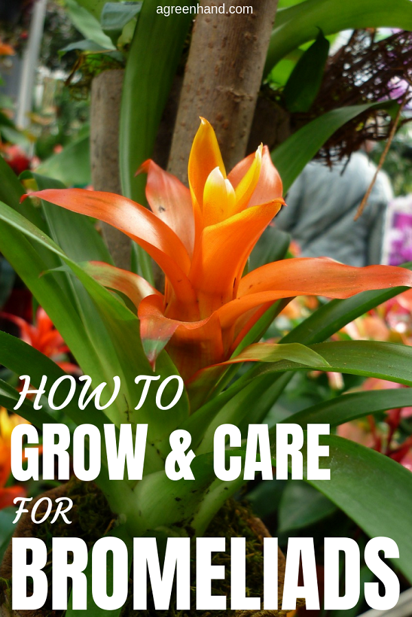 Bromeliads or Bromeliaceae are the popular houseplants. Here are all instructions for growing and caring Bromeliad plants indoors and outdoors.