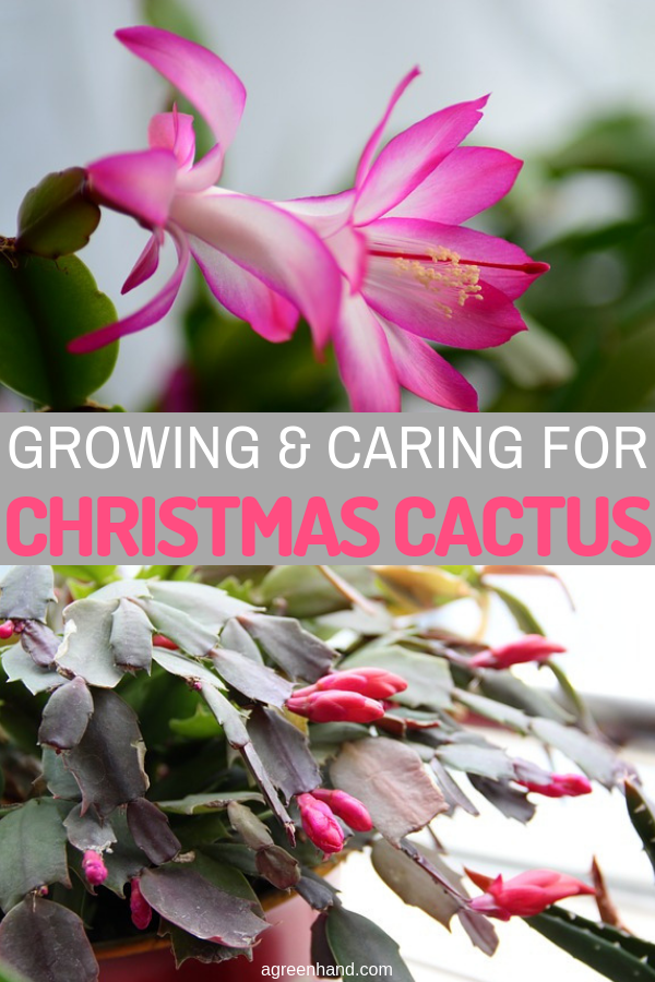 How To Care For Christmas Cactus.How To Grow And Care For Christmas Cactus Agreenhand
