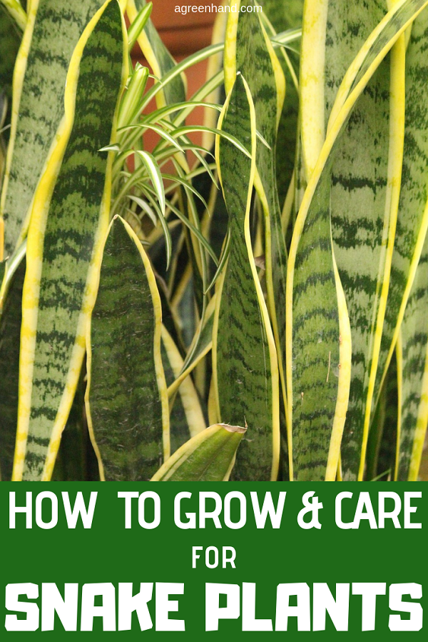 Snake plant, also known as Mother in law's Tongue or Sansevieria is simple plant to grow and care indoors or outdoors, in low light gardens. Check out here to learn more how to grow and care for snake plants