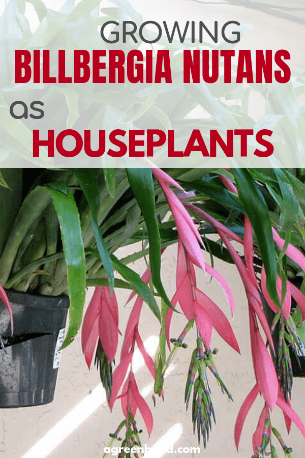 How to grow Billbergia nutans as a houseplant