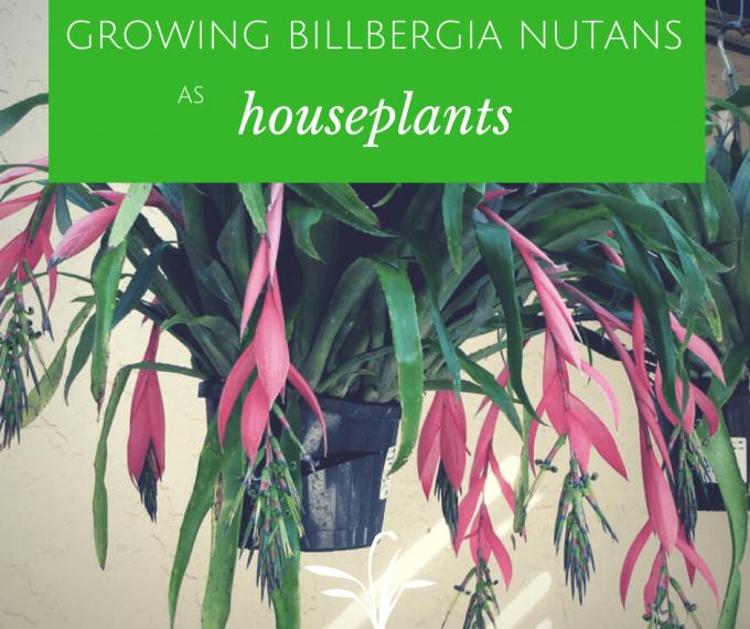 Growing Billbergia Nutans as houseplants