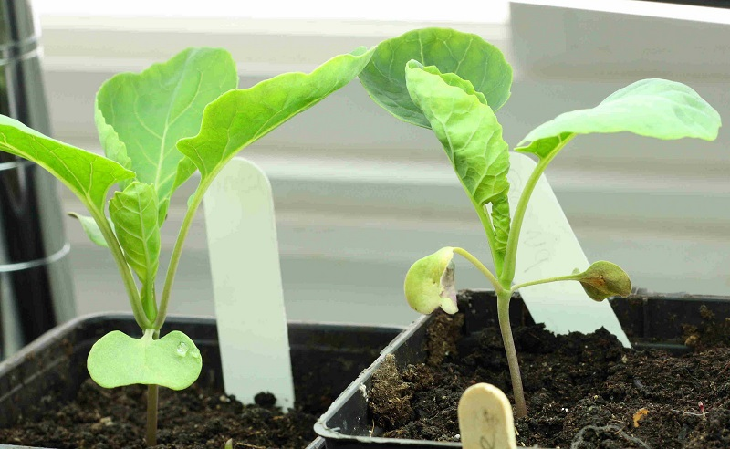 growing brussels sprout