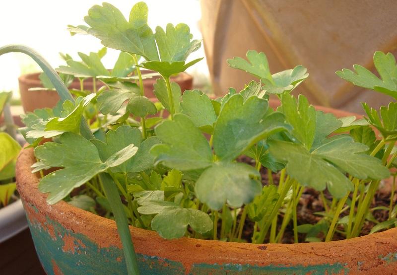 growing parsley in pots