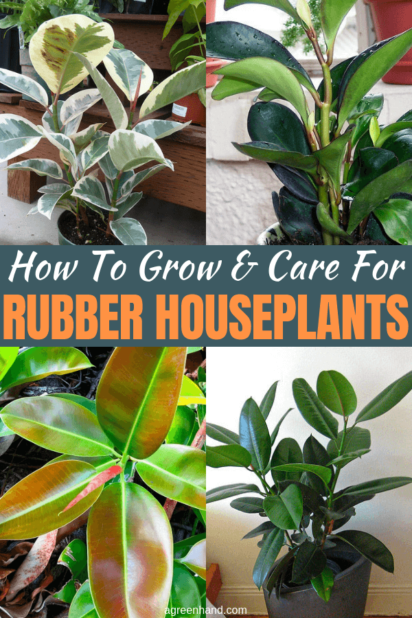 The Rubber plant (Ficus elastica) is one of the most popular houseplants that virtually anyone can grow and maintain. This plant is hearty, robust and forgiving (even for gardeners without a green thumb). #rubberhouseplants #rubberplantcare #growingrubberplants#agreenhand #houseplants