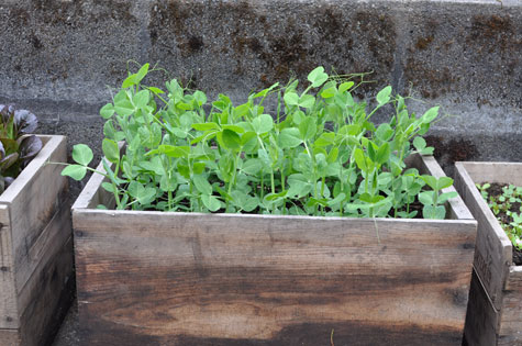 harvest-pea-shoots