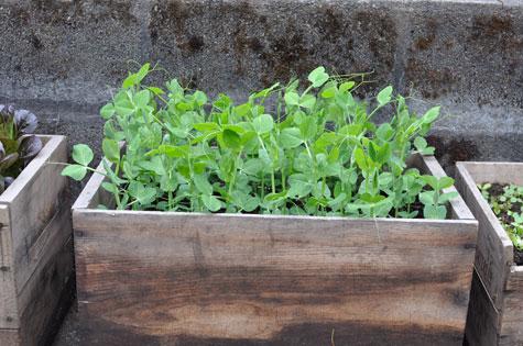 harvest-pea-shoots