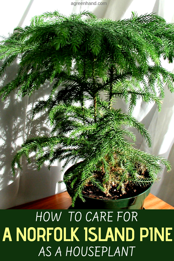 There is a Christmas tree plant that can be grown indoors. The Norfolk Island pine grows to around five feet tall as a houseplant and decorous feature. #norfolkislandpine #norfolkislandpinecare #houseplants #agreenhand