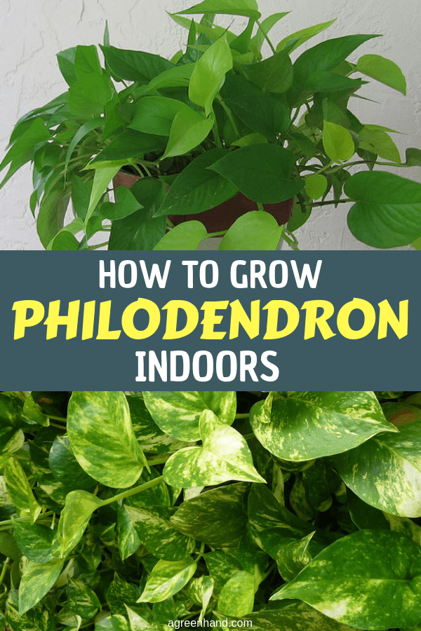 Use indoor time this winter to learn about basic plant care. A philodendron will be your best guinea pig. It's a common saying that you can't kill a philodendron. #growphilodendron #philodendroncare #philodendron #agreenhand #houseplants