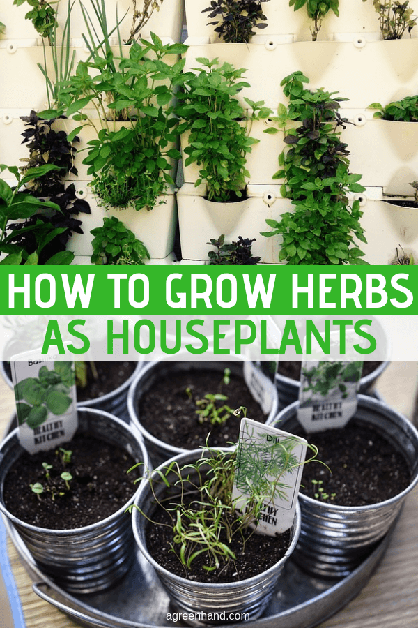 "Houseplants can also render themselves even more useful if we use the right plants. I'd like to suggest using herbs as houseplants. Their various colors, tantalizing aromas, and general usefulness in the kitchen and ""medicine cabinet"" render them ideal choices. #herbs #howtogrowherbs #houseplants #agreenhand #growherbsindoors"